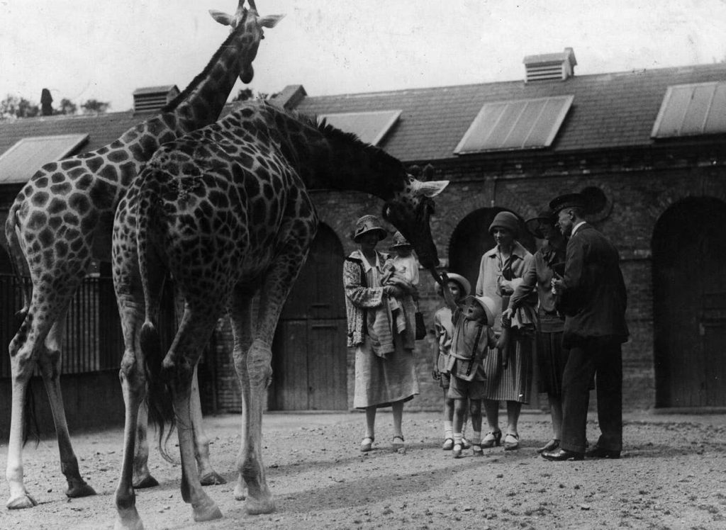 TILIKUM: giraffe in uno zoo intorno al 1930 a testimoniare l'umana perversione di ingabbiare animali