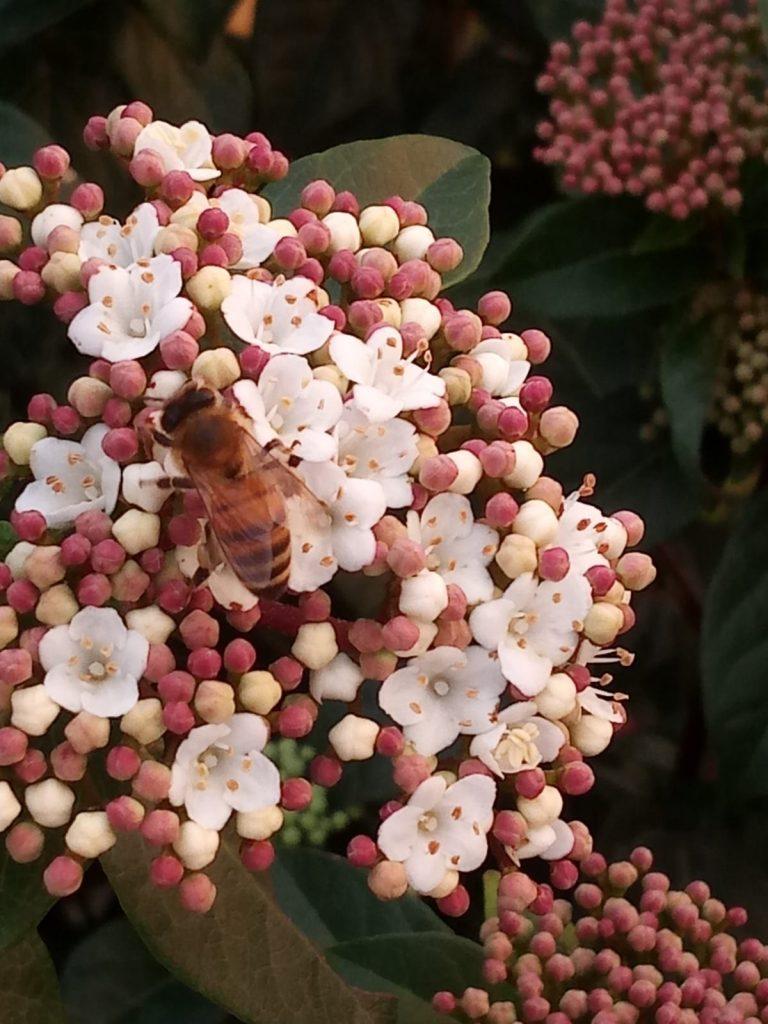 Coronavirus e media: i fiori di viburno assomigliano vagamente ai coronavirus