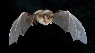 Pipistrello Rhinolophus, considerato dall'OMS un possibile trasmissore di Covid-19 all'uomo