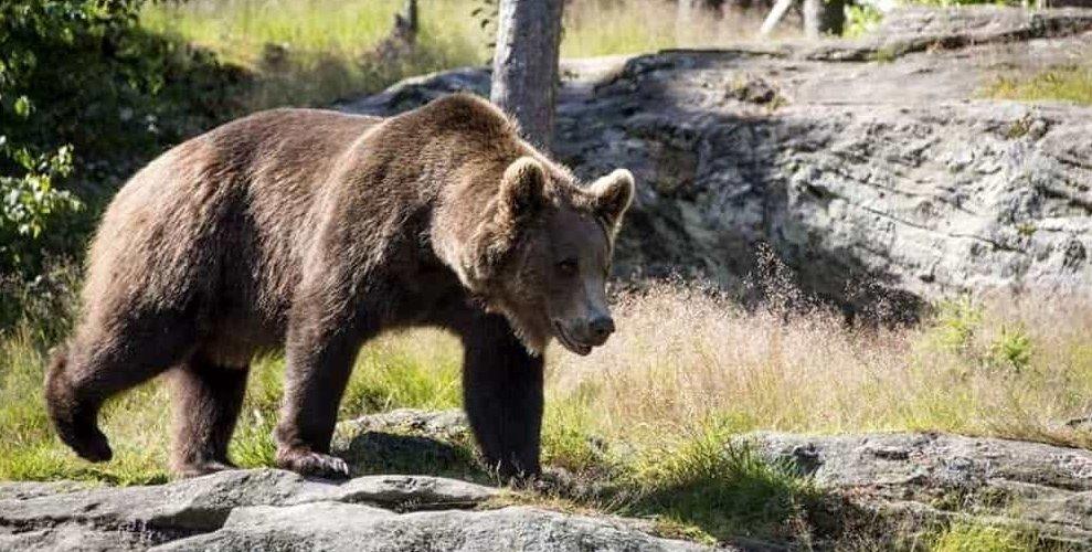 M49 orso meraviglioso è stato catturato