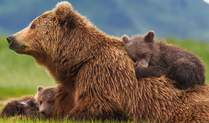 M49 orso meraviglioso è stato catturato: orsa Daniza con cuccioli, uccisa nel 2014