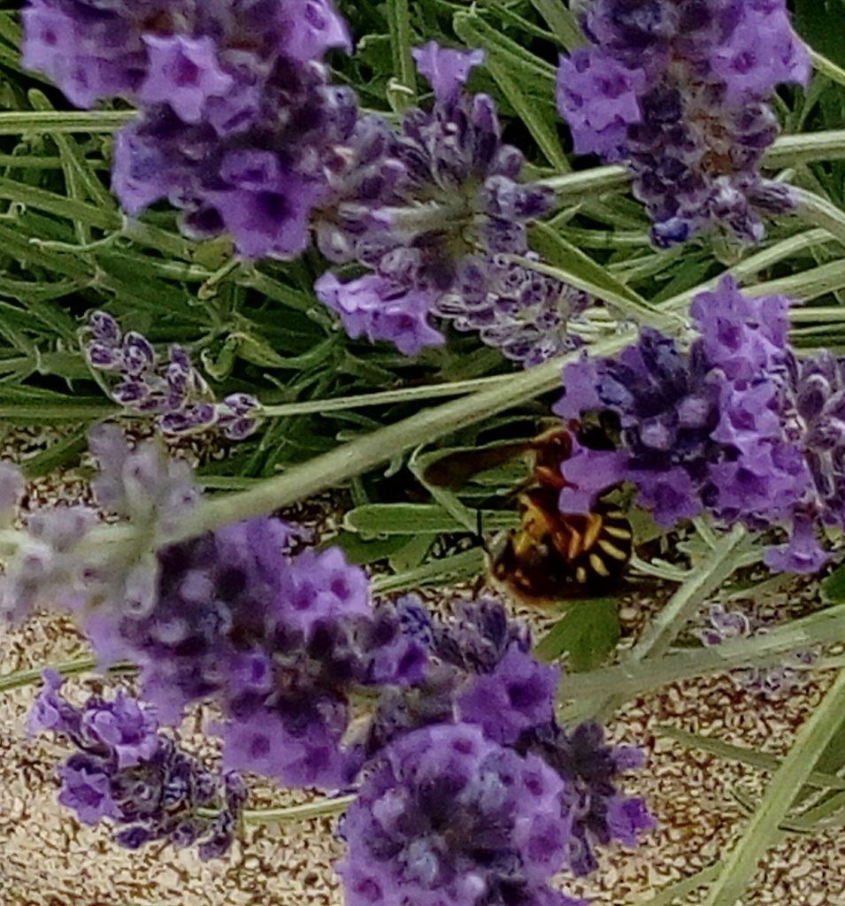 Le api muoiono: ape sui miei fiori di Buddleia