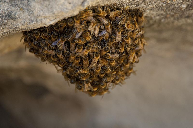 Di Pacific Southwest Region from Sacramento, US - Honey Bees Swarm, Pubblico dominio, https://commons.wikimedia.org/w/index.php?curid=36895401