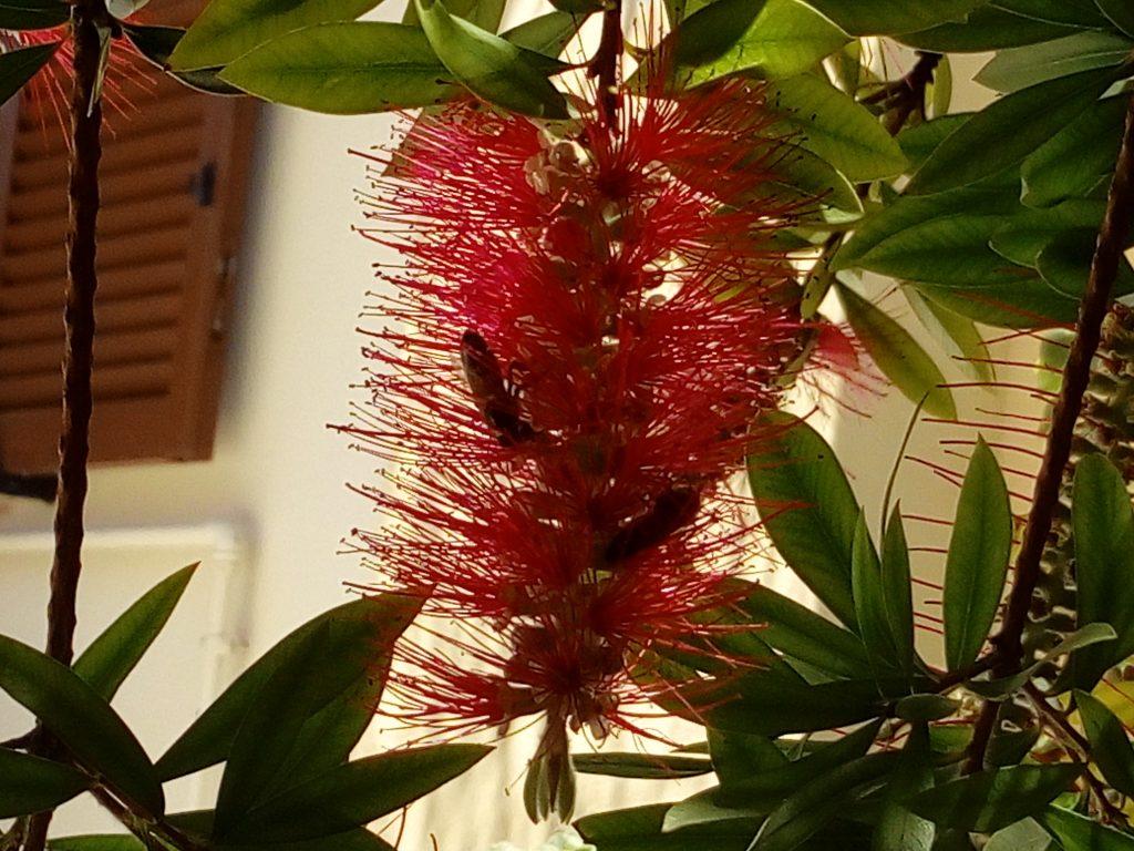 Le api muoiono: api nei fiori del mio Callistemone