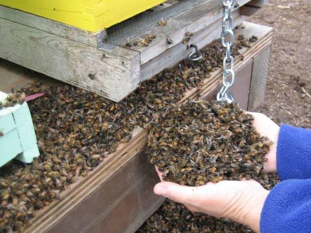 Le api muoiono: api morte a migliaia nell'arnia