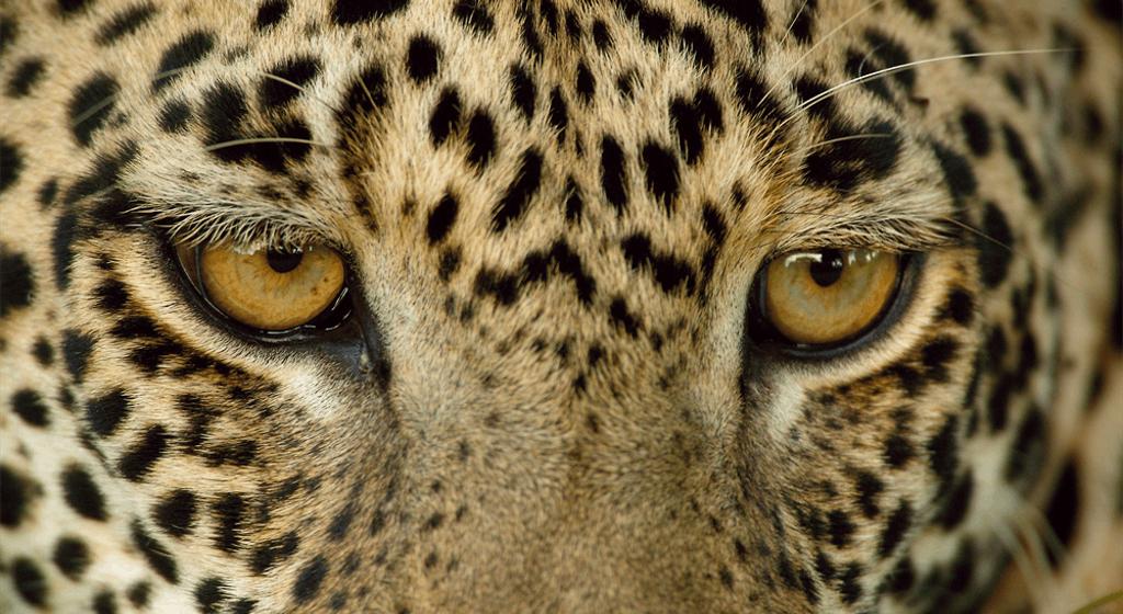 Dikeledi leopardo diverso