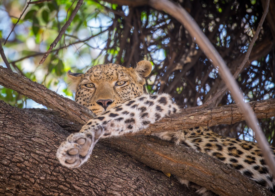 Dikeledi leopardo diverso: leopardo su albero