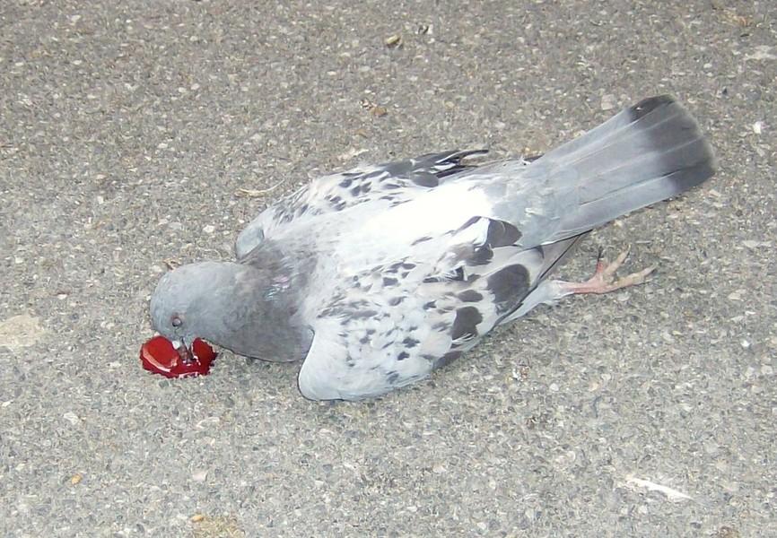 piccioni avvelenati