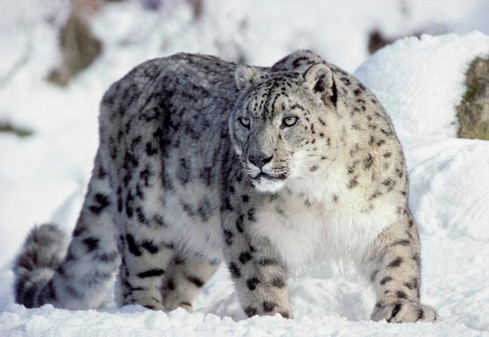Dikeledi leopardo diverso: raro leopardo delle nevi