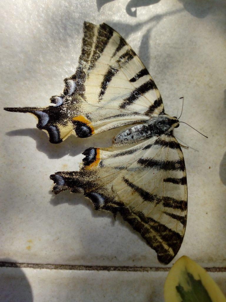L'urlo della farfalla morta. La mia farfalla trovata morta